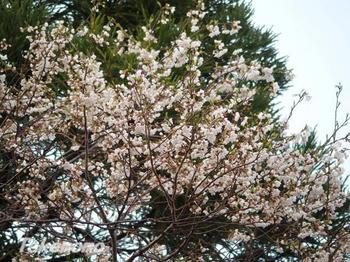 2017-桜1.jpg