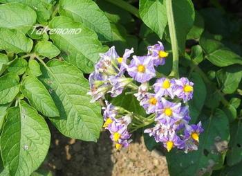 7-ジャガイモの花.jpg
