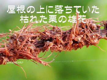栗の枯れた雄花_2017-07-15.jpg