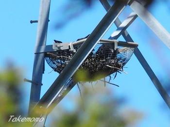 鉄塔のカーコのヒナ1.jpg