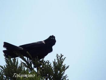 鉄塔のカーコの巣立ち03親鳥.jpg