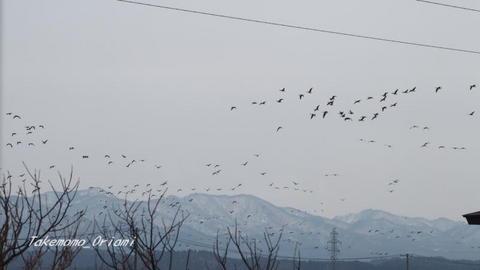 2019-03-06雁の群れ.jpg