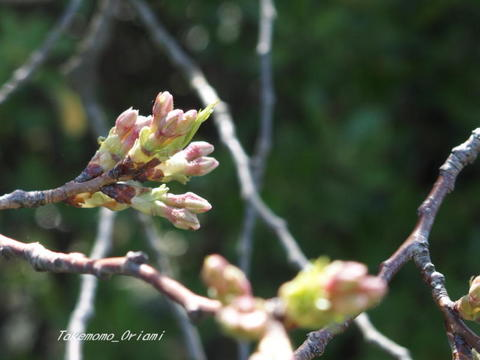 2019-04-18桜.jpg