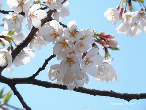 2019-04-22桜 (1).jpg