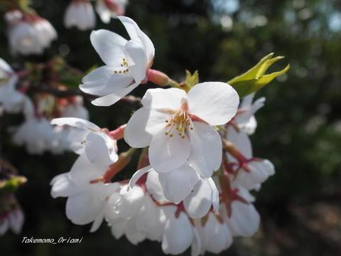 2019-04-22桜 (2).jpg