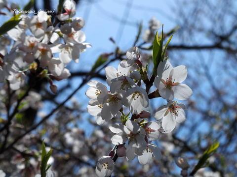 2019-04-22桜 (3).jpg
