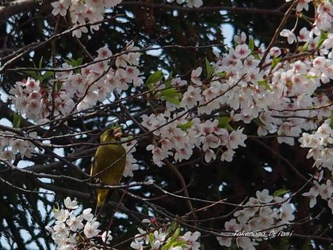 2019-04-25桜とカワラヒワ.jpg