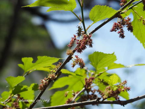2019-05-18桑の花.jpg