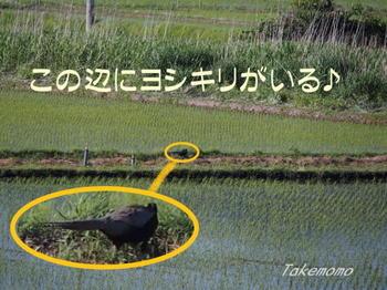 キジとカルガモ2.jpg