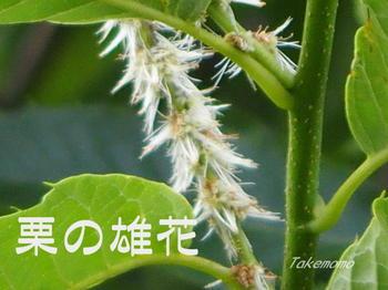 栗の雄花_2017-07-04.jpg