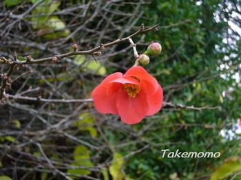 狂い咲きの木瓜.jpg